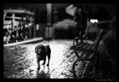 promenade dog