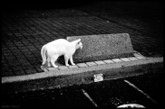 chat blanc 2